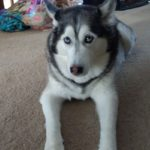 Amaya the Siberian Husky